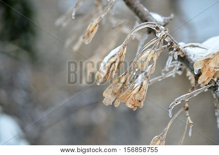 Dry Seeds On A Tree Branch Covered With Ice
