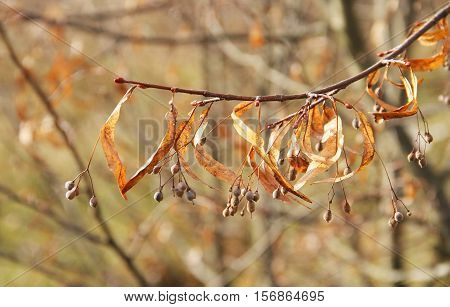 close photo of sear seeds of lime tree on the twig in autumn