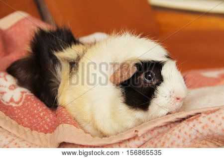 cute black, white and beige guinea pig lying on the pink blanket