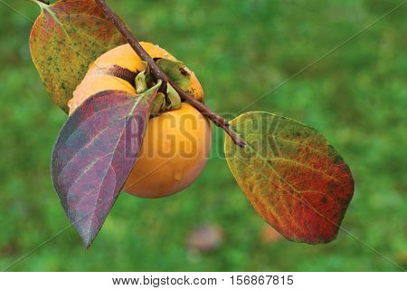 Ripe Kaki Fruit Hanging on the Branch