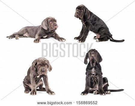 Collection of young puppy italian mastiff cane corso (3 month) on white background.