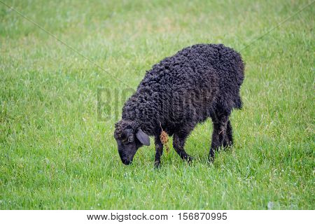 Black sheep grazing on green grass pasture. Symbol of unlikeness and uniqueness