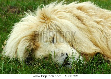Sleeping White Lion