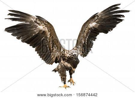 Buzzard Eagle Preparing to Fly Away or Landing