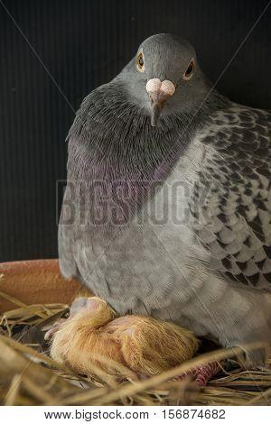 pigeon bird hatching new born in home loft