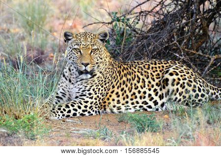 Wild leopard resting in shadow under bush in the African bushveld Namibia