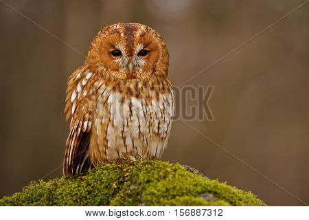 Tawny owl sitting at the moss branch