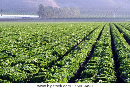 Green leaf lettuce fields of crops poster
