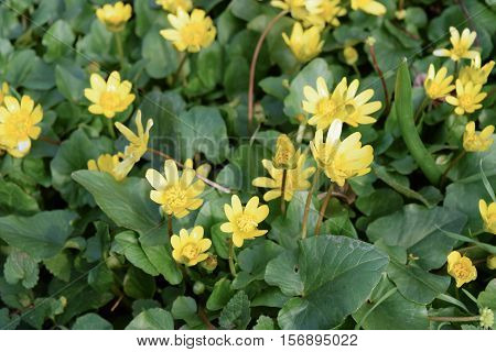 Lesser Celandine Flowers On The Ground