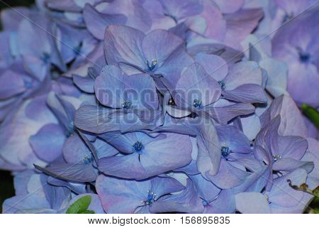 Flowering light blue hydrangea bush in bloom.