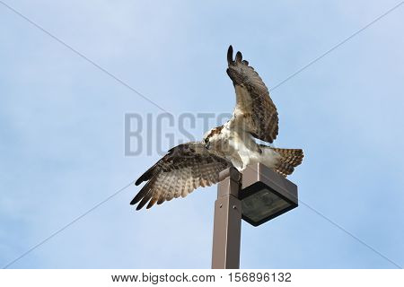 An Osprey atop a light pole with its wings spread.