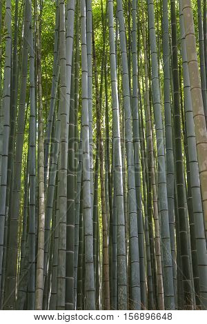 Detail of the bamboo forest in Arashiyama Kyoto