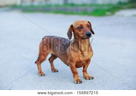 The small dog breed dachshund is walking outdoors