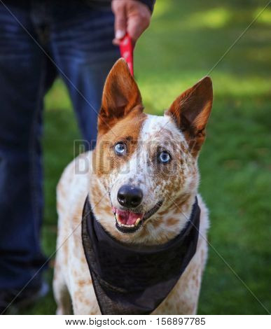 a cute red cattle dog with blue eyes in the grass at a park during summer with a leash and a bandana on  poster