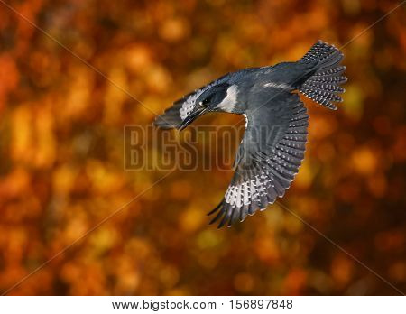 a belted kingfisher diving out of a tree toward a river trying to catch a fish or some other prey for dinner, in front of beautiful autumn leaves