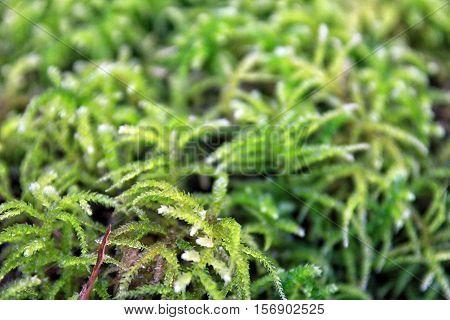 beautiful green forest Sphagnum moss closeup on marshland