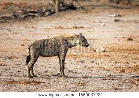 Standing hyena, side view, in Kruger National Park, South Africa