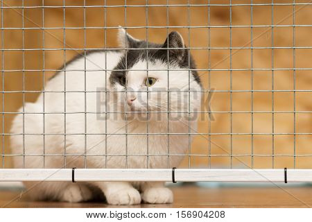 White adult cat with black ears sitting behind a metal grille and looks away.
