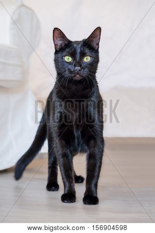 Portrait of a black cat standing on a floor.