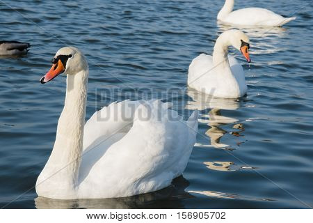 Swan And Pond, Lake Photo. Beautiful Picture, Background, Wallpaper