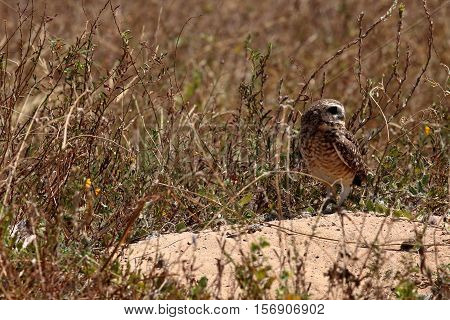A Rabbit owl in the caatinga of Brazil
