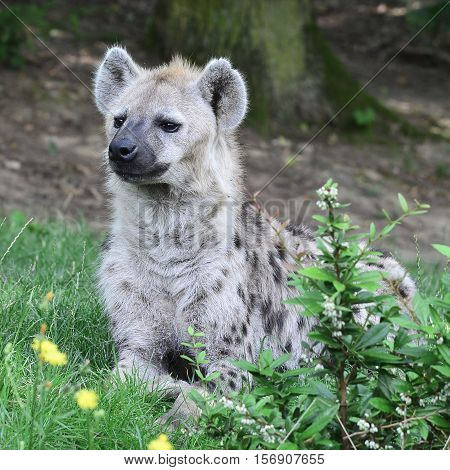 Baby Spotted hyena looking towards its mum