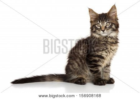 Beautiful Maine Coon kitten on a white background
