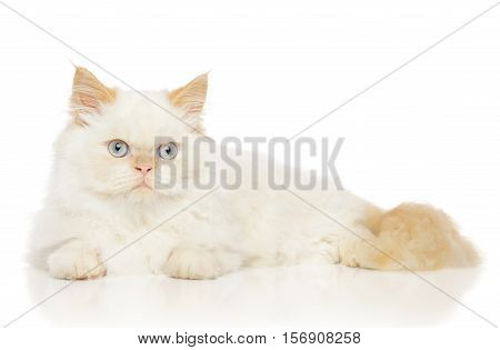 Persian Cat On White