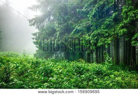 Landscape of forest edge with green branches fir-trees in wet foggy and rainy weather