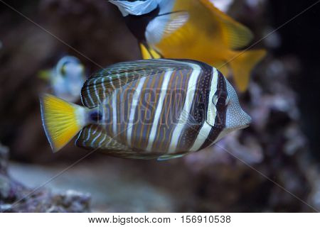 Sailfin tang (Zebrasoma veliferum). Marine fish.