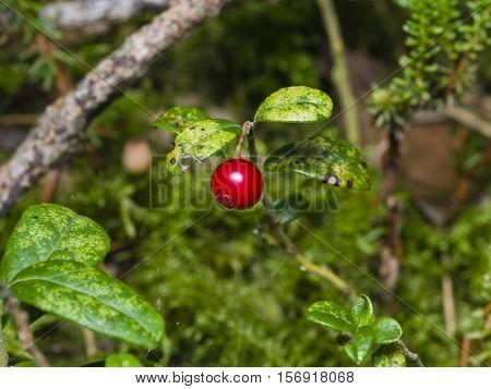 Vaccinium vitis-idaea Ripe cowberry in moss macro selective focus shallow DOF