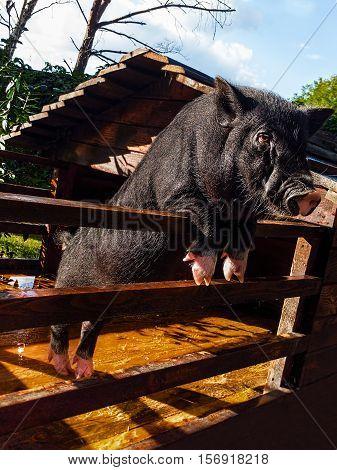 Little black pig in a decorative wooden pen