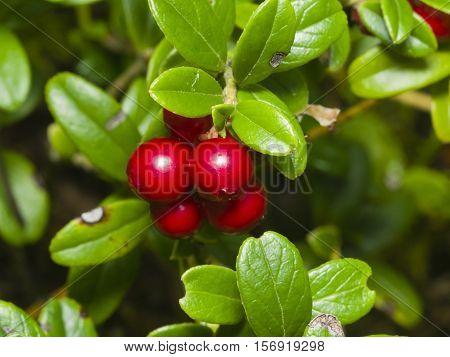 Vaccinium vitis-idaea Ripe cowberry macro selective focus