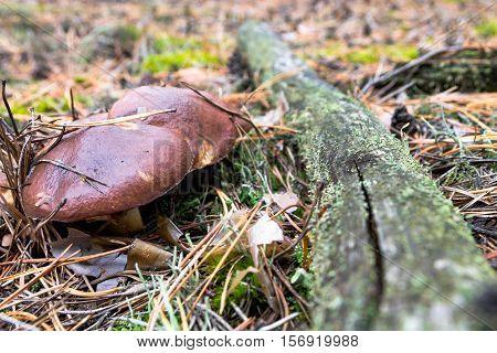 Suillus In Forest.