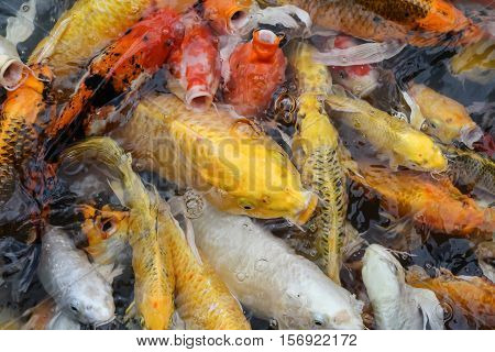 Colorful fish or CARP or fancy carp, also known as fancy carp, black carp. Or carp IX. A freshwater fish of the carp. Fancy carp or Koi fish swimming at pond in the garden