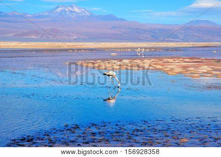 Close up of a flamingo in the Laguna Chaxa a lagoon in the National reserve Los Flamencos close to San Pedro de Atacama in the Atacama desert in Chile South America