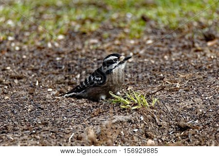 A Downy Woodpecker rests on the ground near a tuft of grass.