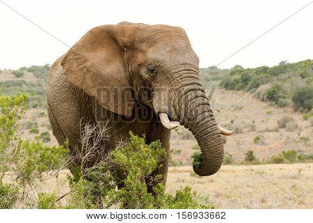 Bush Elephant Standing Behind The Bushes