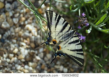 Scarce swallowtail (Iphiclides podalirius) butterfly on a lavender flowers.