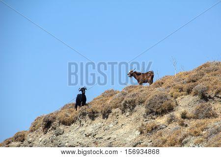 Goats on the island of Kos island, Greek island in Aegean sea.