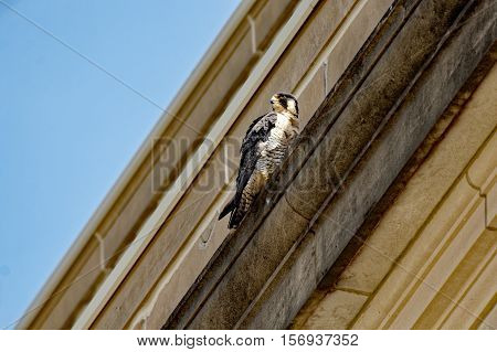 A Peregrine Falcon perches on a building ledge. These birds are known for nesting on urban buildings and can often be found in downtown locations.