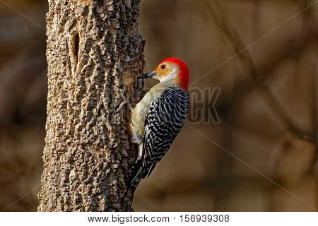 A Red-Bellied Woodpecker drums on a tree.
