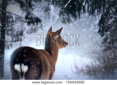 The roe dear in the winter forest