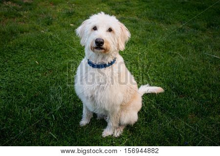 Labradoodle Sits and Looks at Camera obediently