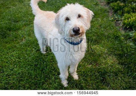 Labradoodle Stands and Looks at Camera with a green grass background