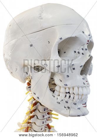 Plastic Anatomical Educational Model of Human Head isolated on White background