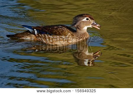 A female Wood Duck calls while floating on the calm pond waters.
