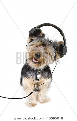 Adorable yorkie listening to music on headphones
