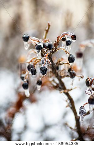 Freezing Rain, When Frost Is Not Snow, But Rain, Water Freezes On The Branches Of Trees, Leaves, And