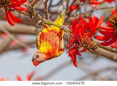 Color aberrations in a Rainbow Lorikeet (Trichoglossus haematodus) - a medium-sized Australian parrot - feeding on the flowers of a Coral Tree (Erythrina sykesii) in Perth Western Australia.